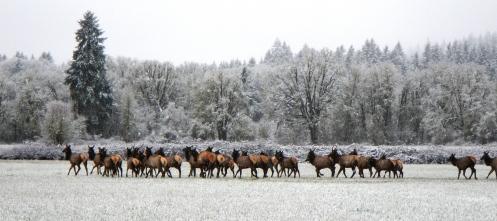 elk running
